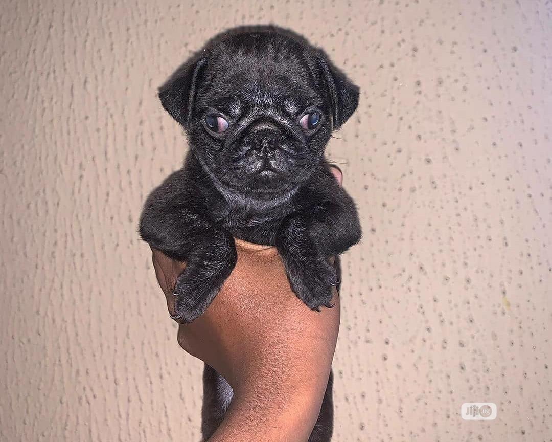 1 3 Month Male Purebred Pug In Mararaba Dogs Puppies Aguguo Confidence Jiji Ng For Sale In Mararaba Aguguo Confidence On Jiji Ng