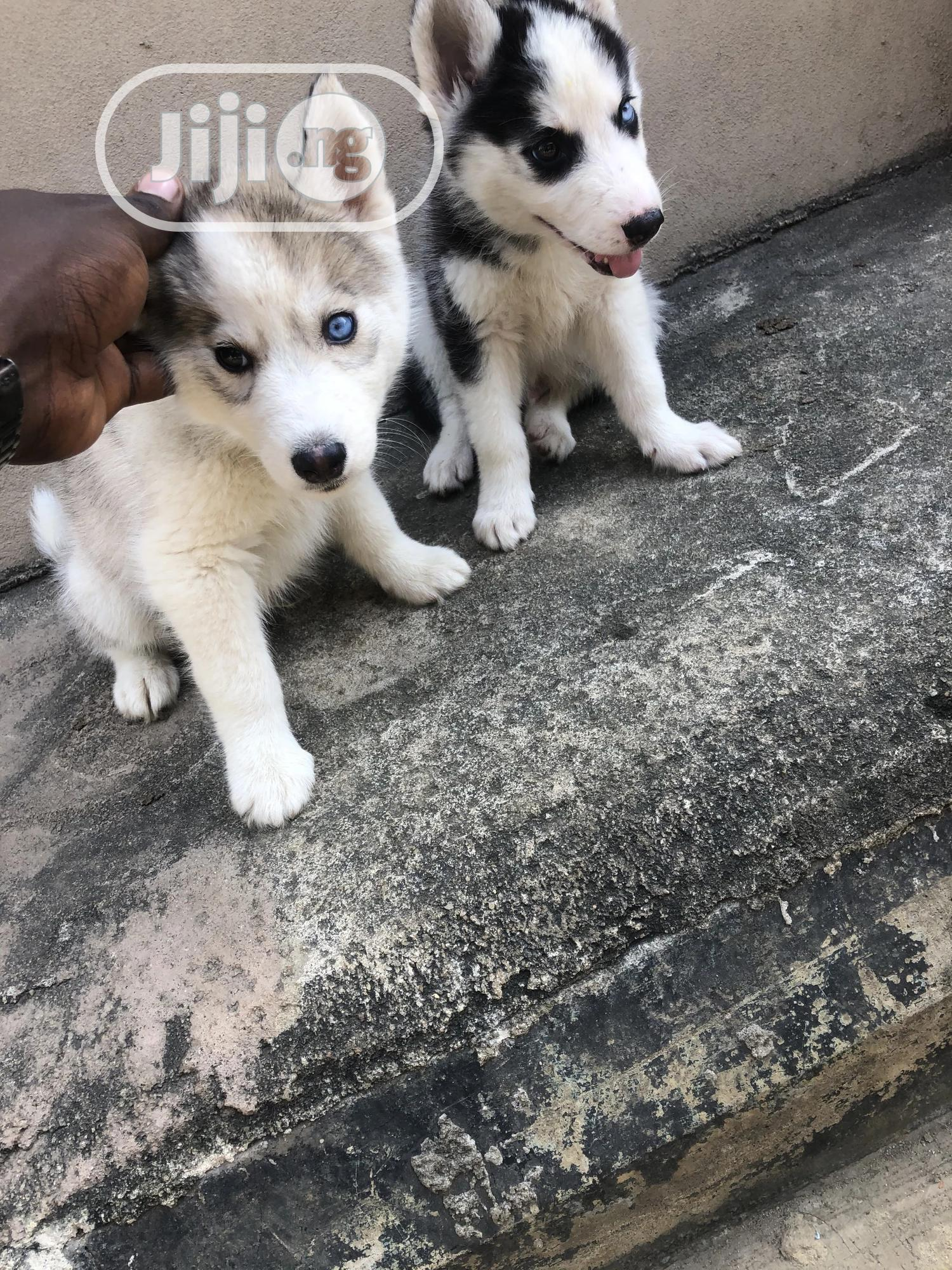 1-3 month Female Purebred Siberian Husky | Dogs & Puppies for sale in Ikorodu, Lagos State, Nigeria