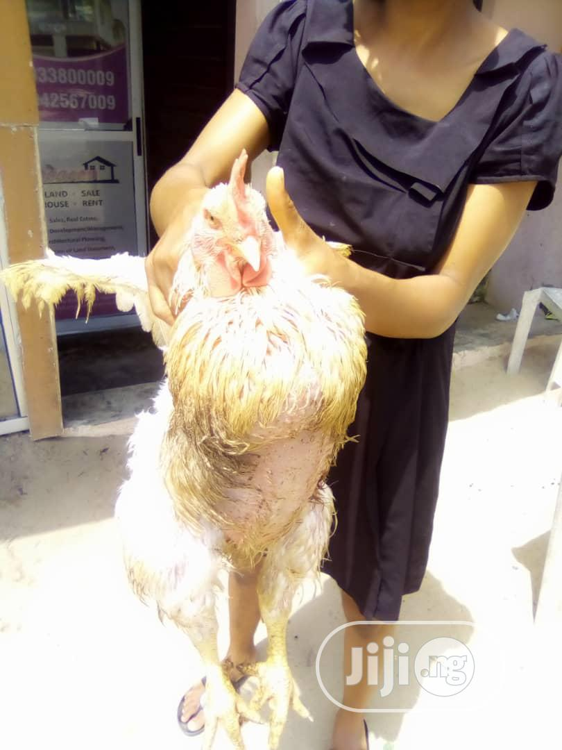 Archive: BROILER CHICKENS FOR SALE. Contact Us For Live And Processed