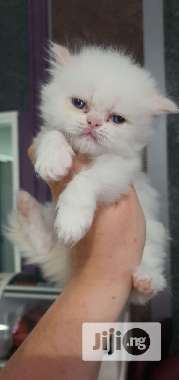 1-3 month Female Purebred Persian | Cats & Kittens for sale in Ikoyi, Lagos State, Nigeria
