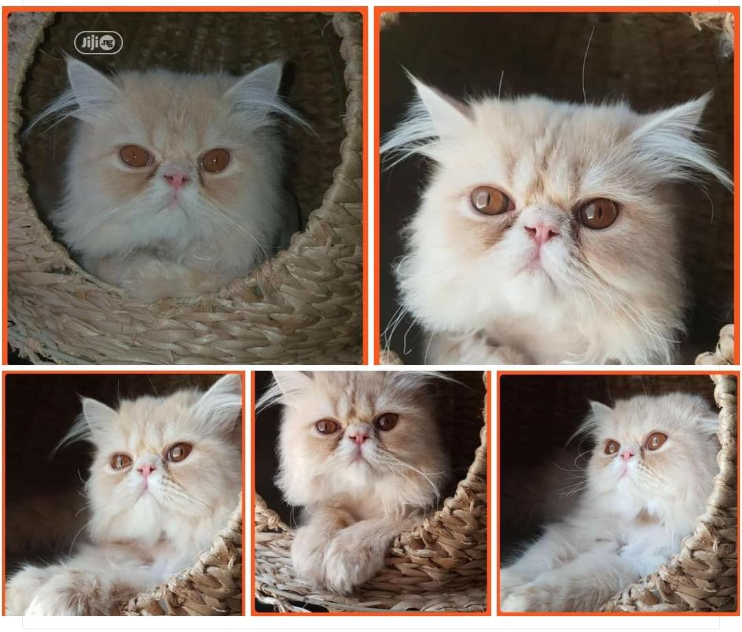 1-3 month Female Purebred Persian