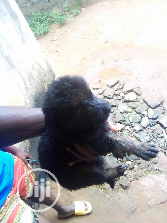 0-1 Month Male Purebred German Shepherd | Dogs & Puppies for sale in Ifako-Ijaiye, Lagos State, Nigeria