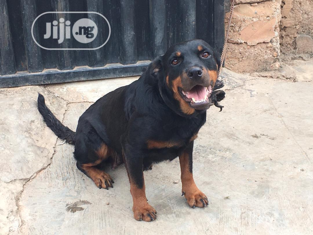 1+ Year Female Purebred Rottweiler | Dogs & Puppies for sale in Osogbo, Osun State, Nigeria