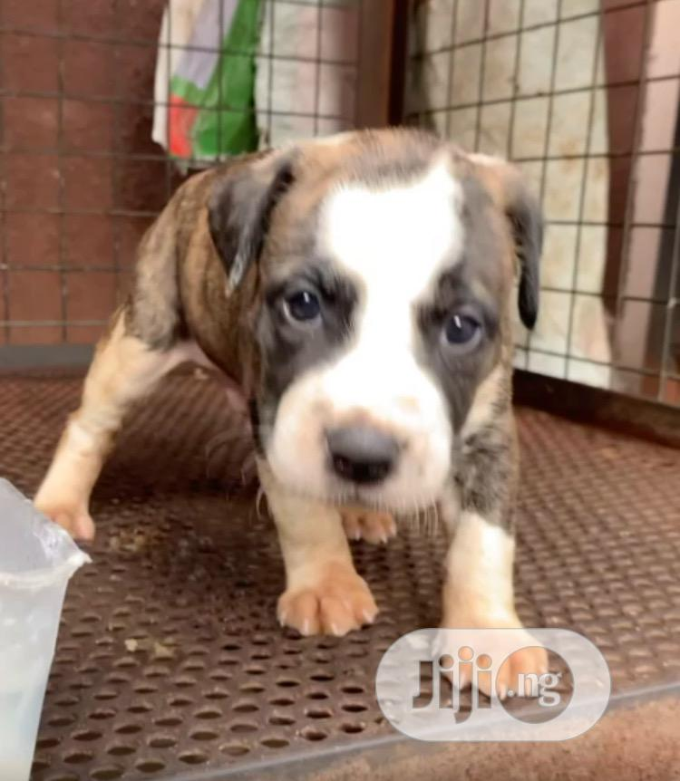 1-3 month Female Purebred American Pit Bull Terrier