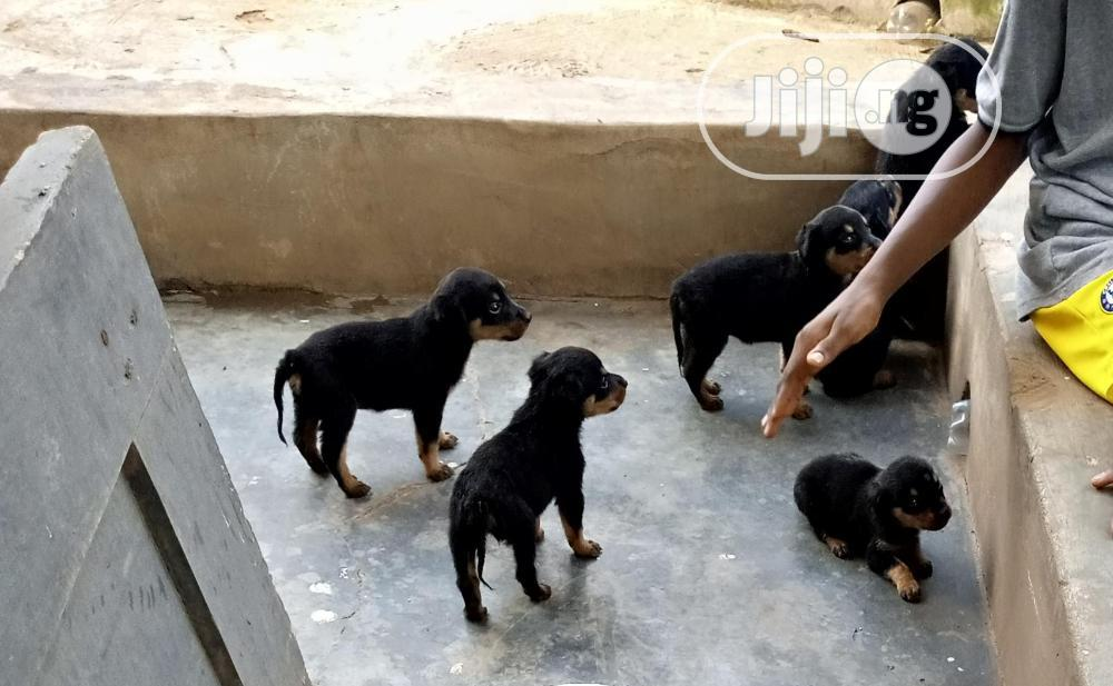 1-3 Month Female Purebred Rottweiler | Dogs & Puppies for sale in Akure, Ondo State, Nigeria