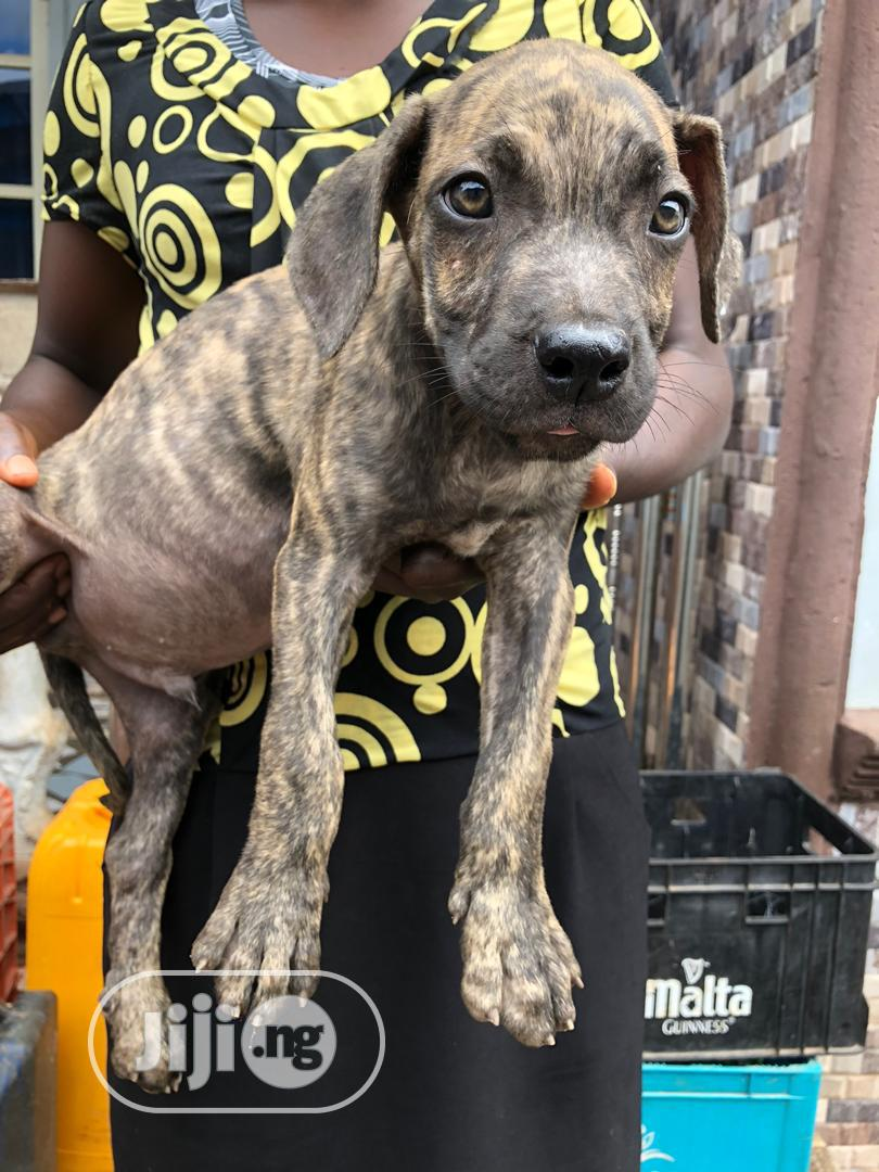 1-3 Month Male Purebred Boerboel | Dogs & Puppies for sale in Akure, Ondo State, Nigeria