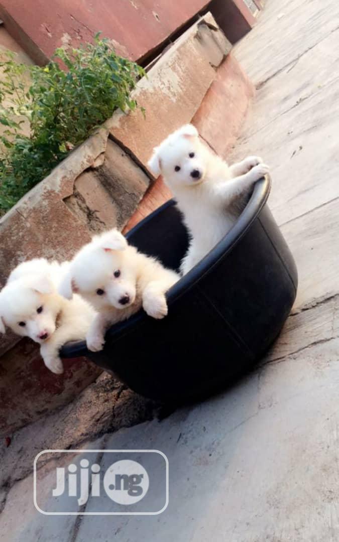 0-1 month Female Purebred American Eskimo | Dogs & Puppies for sale in Ibadan, Oyo State, Nigeria