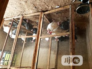 Point Of Lay Turkey For Sale | Livestock & Poultry for sale in Oyo State, Ibadan