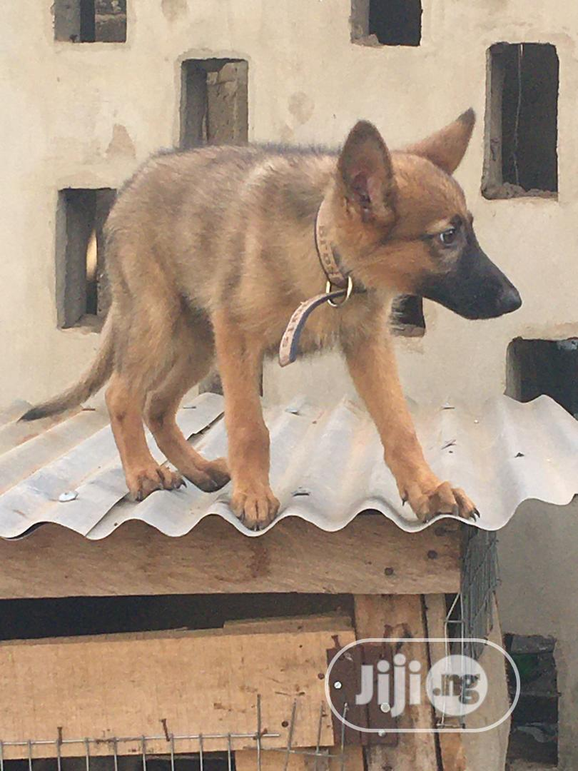 1-3 Month Female Purebred German Shepherd | Dogs & Puppies for sale in Ibadan, Oyo State, Nigeria