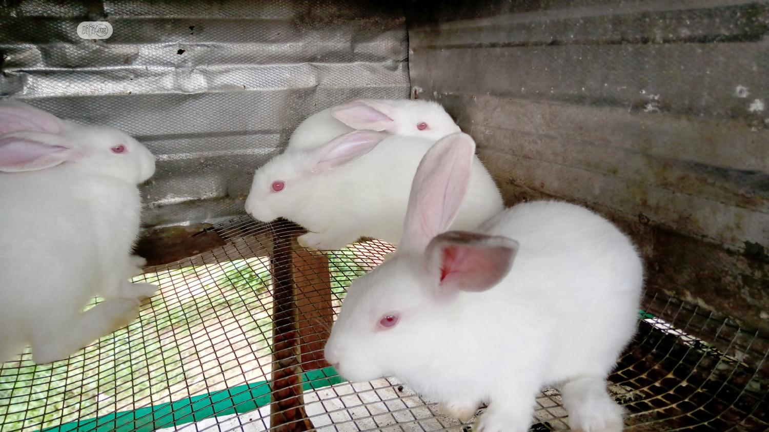 Rabbits For Sale | Livestock & Poultry for sale in Ado-Odo/Ota, Ogun State, Nigeria
