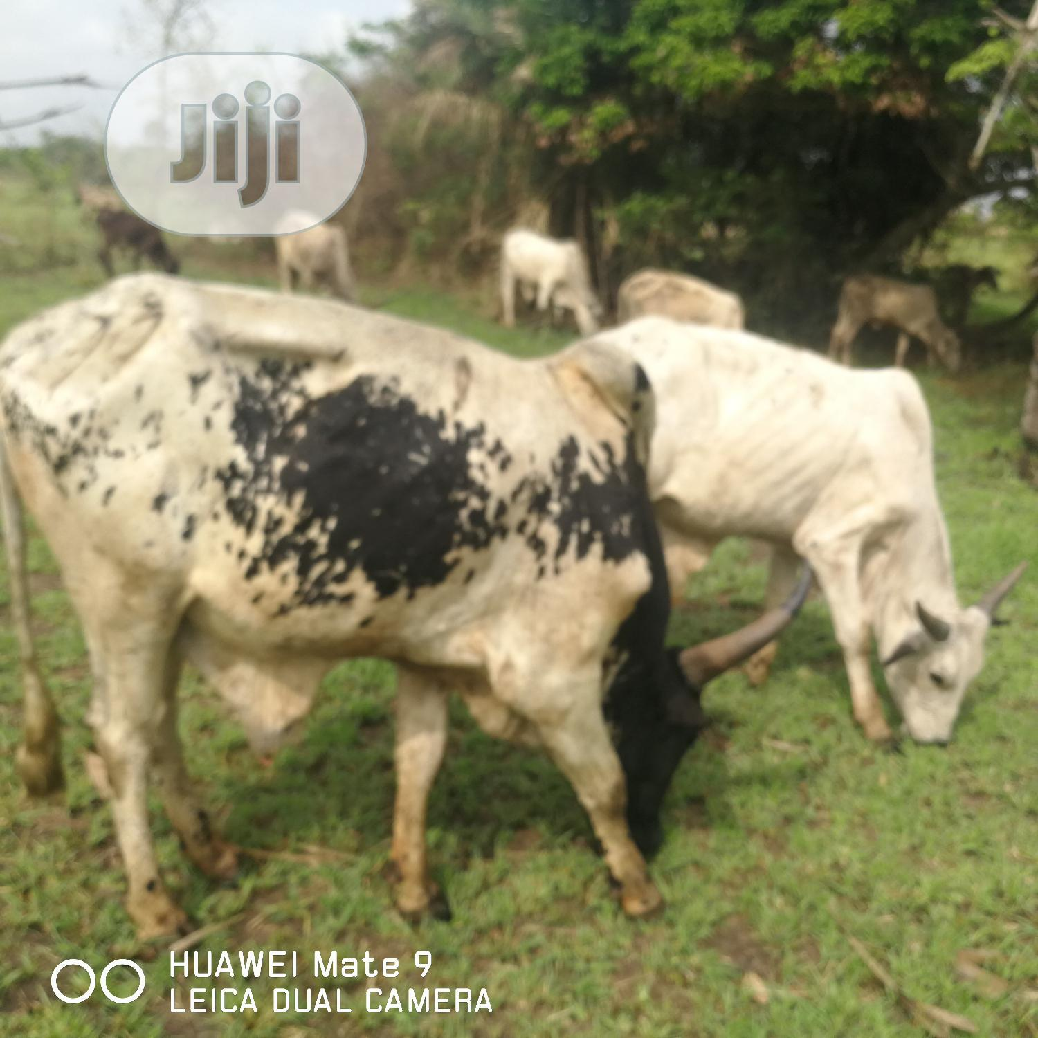 Healthy Cow + Free Delivery | Livestock & Poultry for sale in Ikeja, Lagos State, Nigeria
