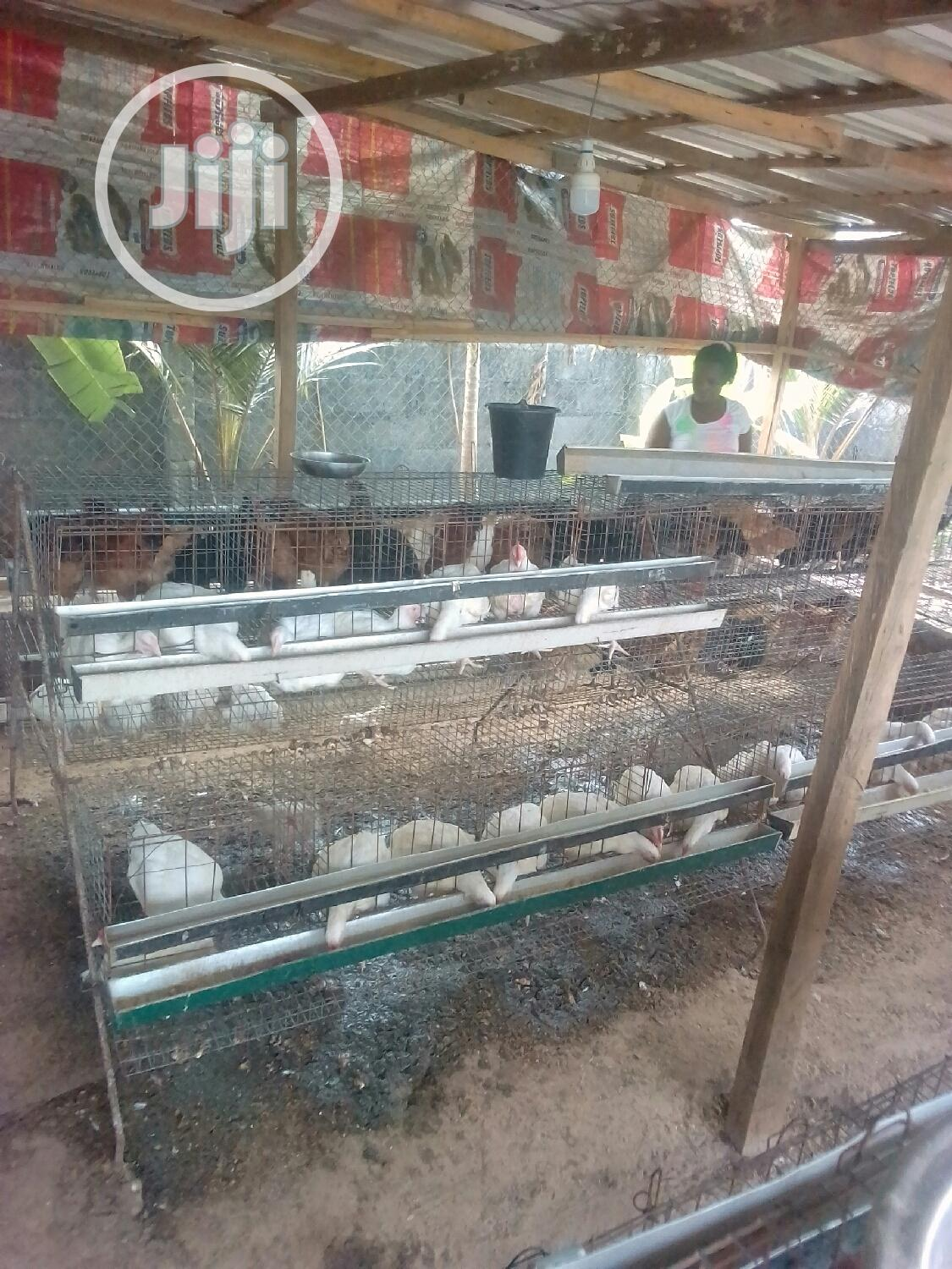 Archive: Matured Nioler, Cockerel And Broilers For Sell