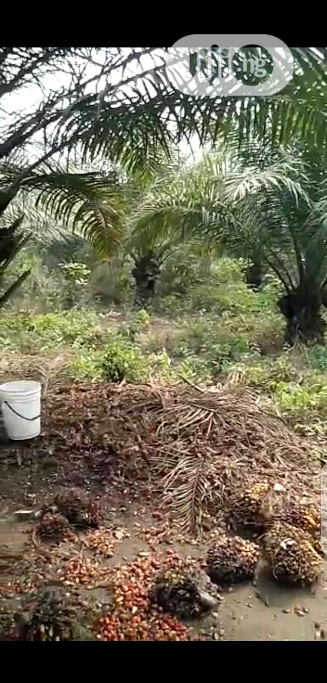 Palm Tree Plantation for Sale at Gbongan Osun State   Land & Plots For Sale for sale in Irewole, Osun State, Nigeria