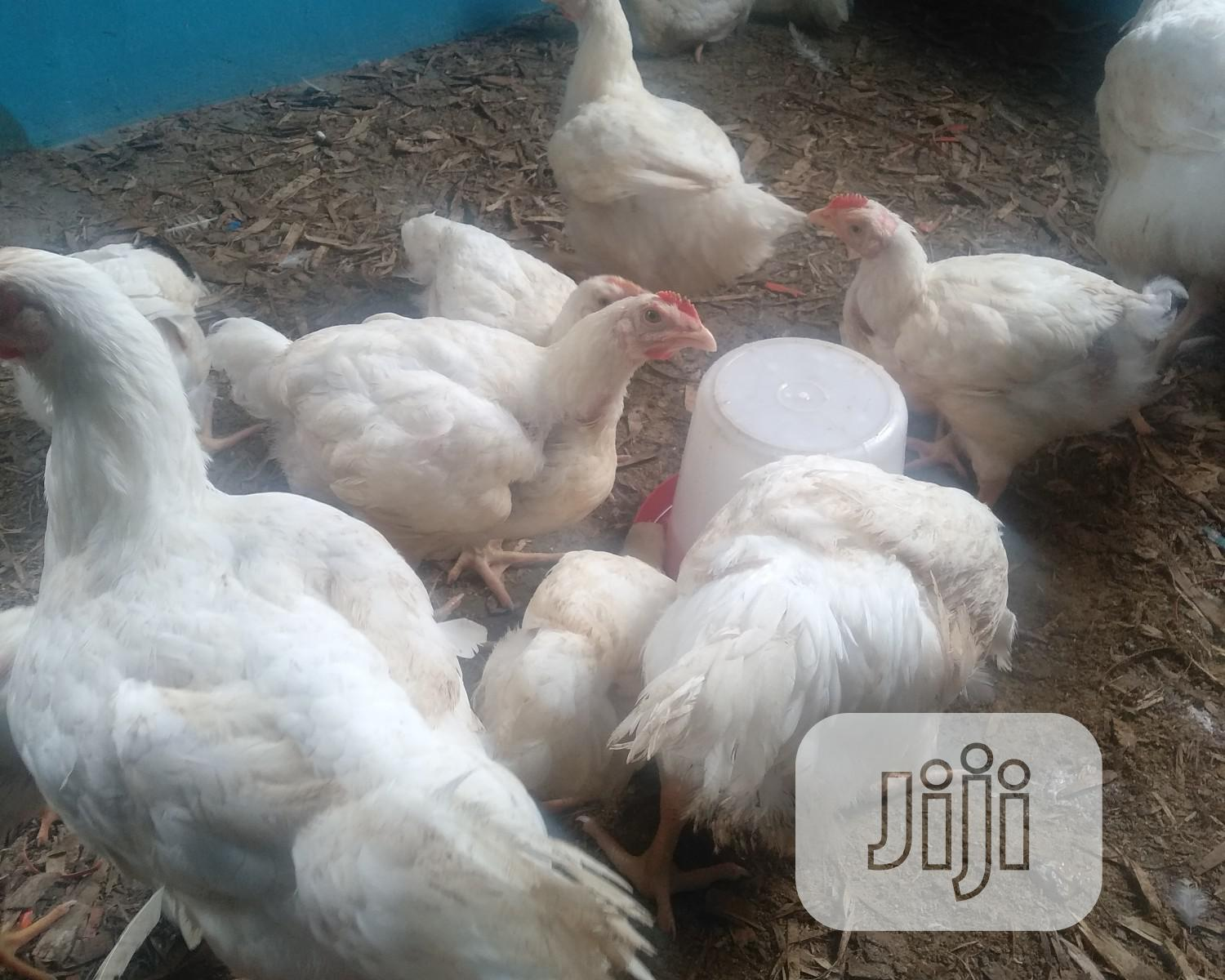 Archive: Organically Bred Live Chickens For Sale (#1,000 Per Kg)