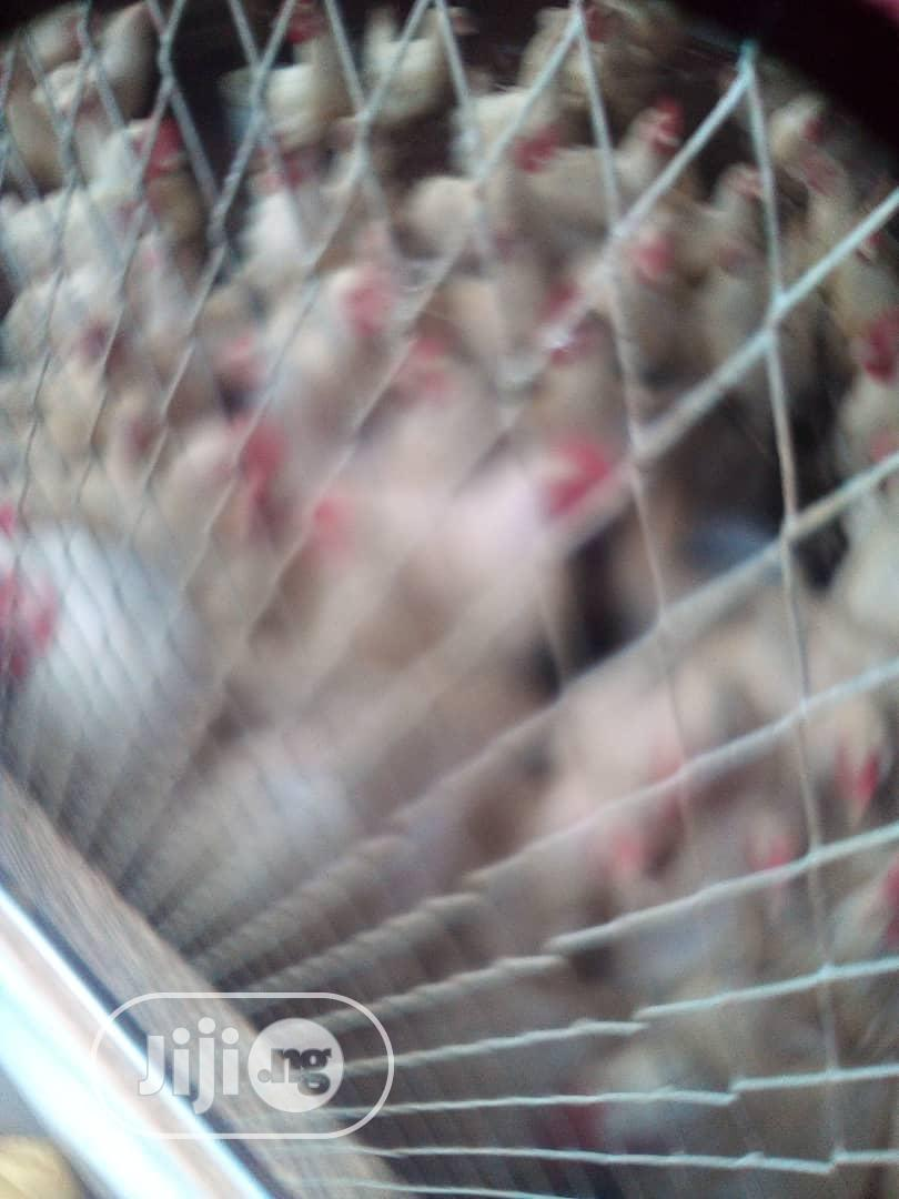 Archive: Broilers Chicken