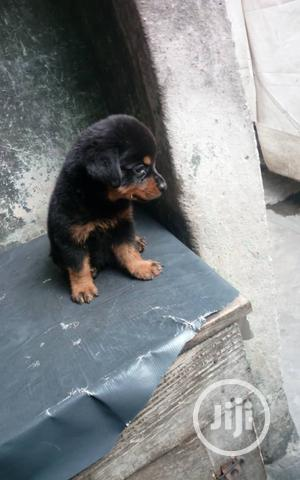 1-3 Month Female Purebred Rottweiler   Dogs & Puppies for sale in Lagos State, Surulere