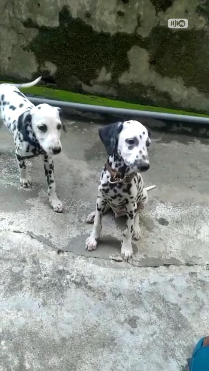 1-3 month Male Purebred Dalmatian