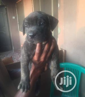 1-3 month Male Purebred Boerboel   Dogs & Puppies for sale in Lagos State, Surulere