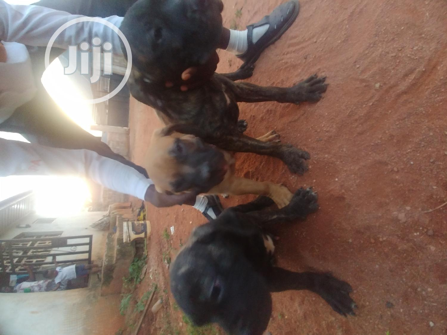 1-3 month Male Purebred Boerboel | Dogs & Puppies for sale in Egor, Edo State, Nigeria
