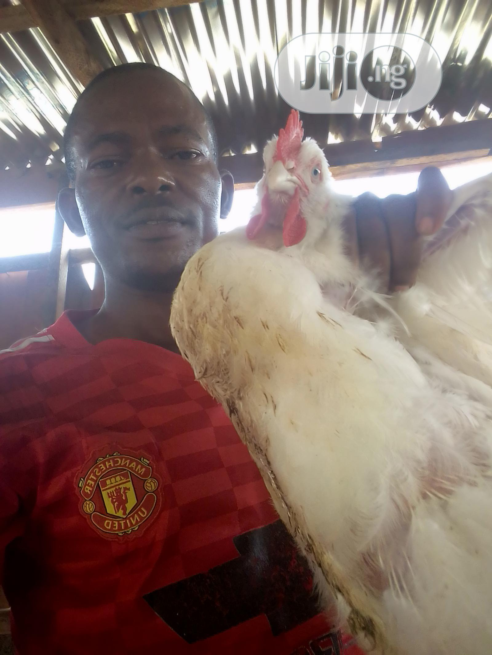 Archive: Broiler Chickens