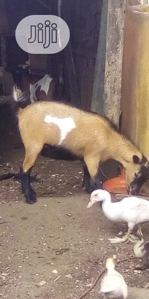 Healthy Goats For Breeding And Meat | Meals & Drinks for sale in Rivers State, Port-Harcourt