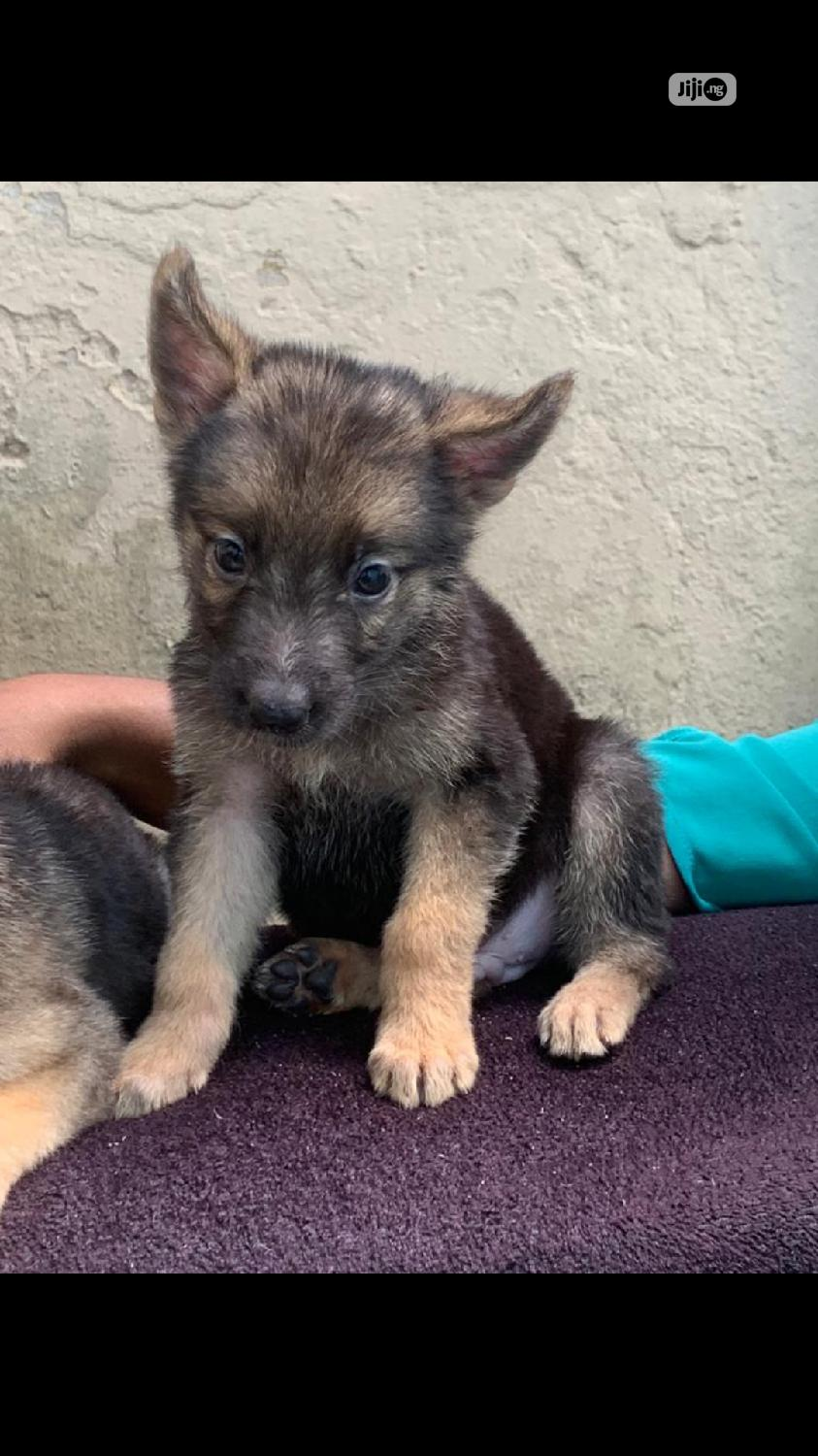 1-3 Month Female Purebred German Shepherd   Dogs & Puppies for sale in Agege, Lagos State, Nigeria