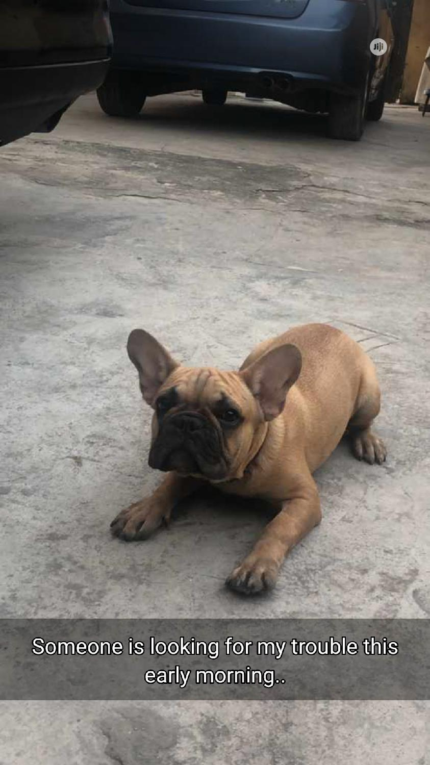 Archive: 3-6 Month Male Purebred French Bulldog
