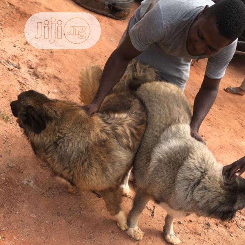 1-3 Month Female Purebred Caucasian Shepherd   Dogs & Puppies for sale in Benin City, Edo State, Nigeria