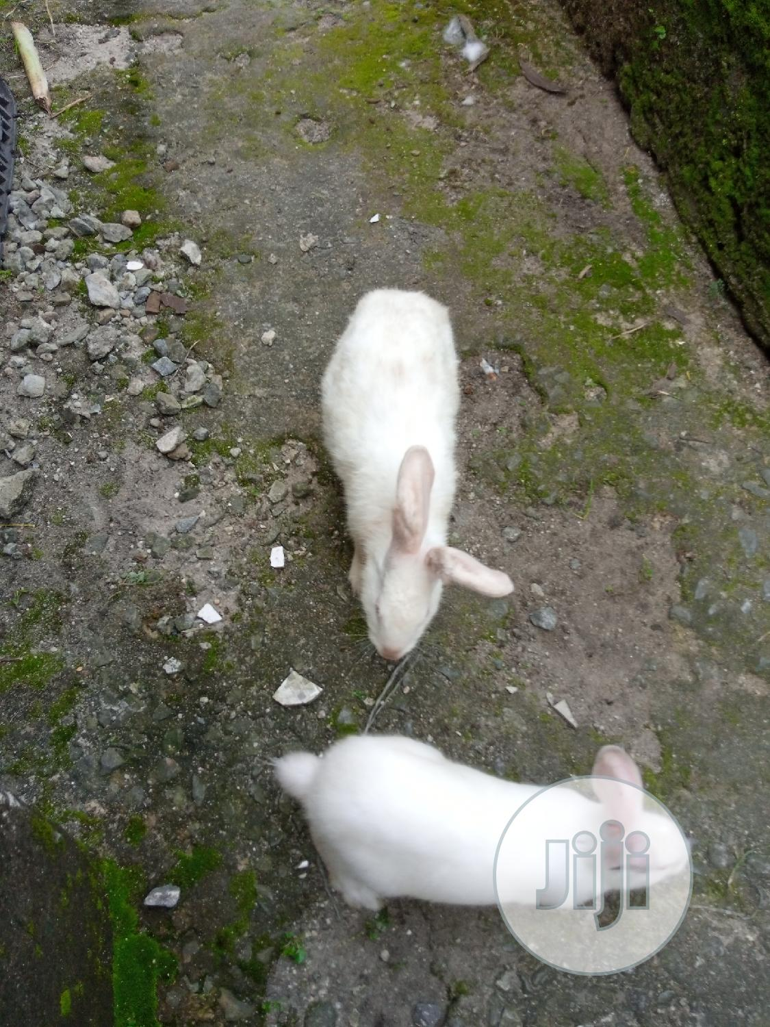 Bunnies (Rabbits) For Sale   Livestock & Poultry for sale in Port-Harcourt, Rivers State, Nigeria