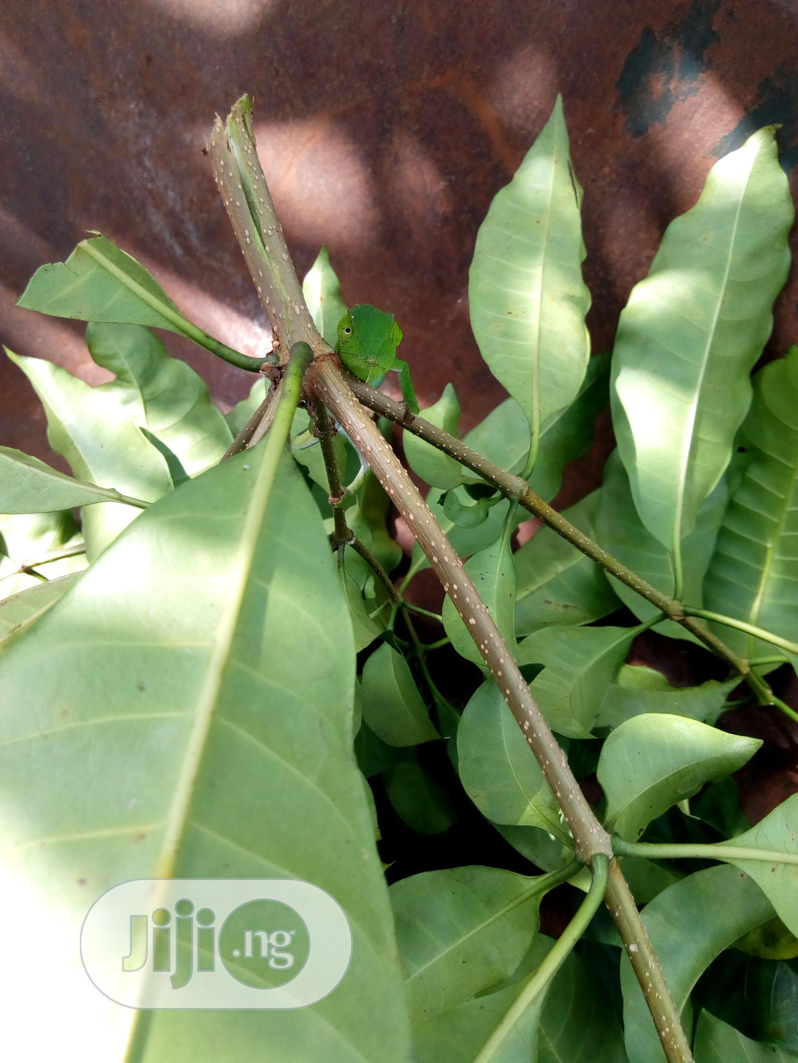 Archive: Very Special Rare Breed Chameleon