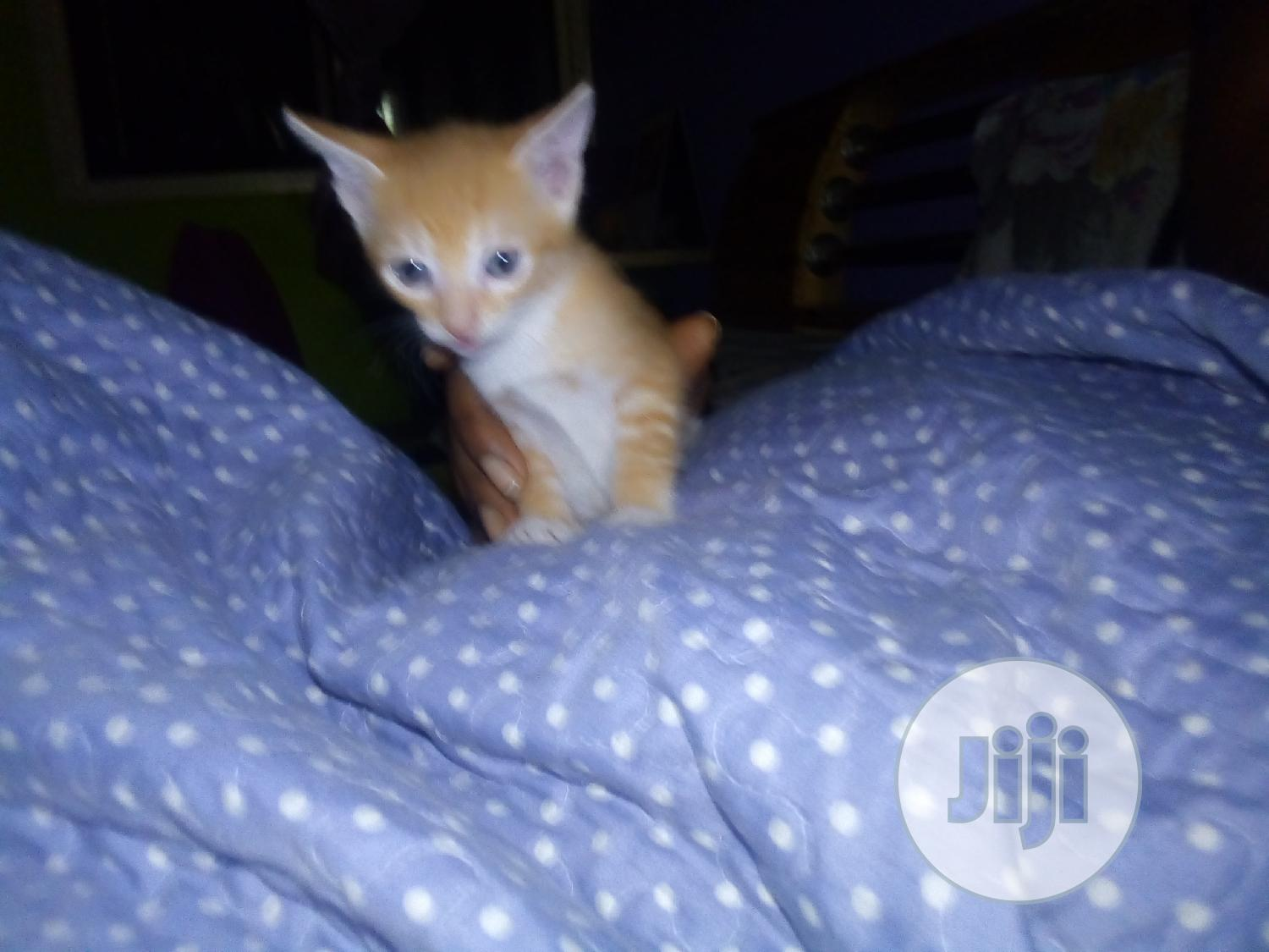 Archive: 1-3 month Female Purebred Cat