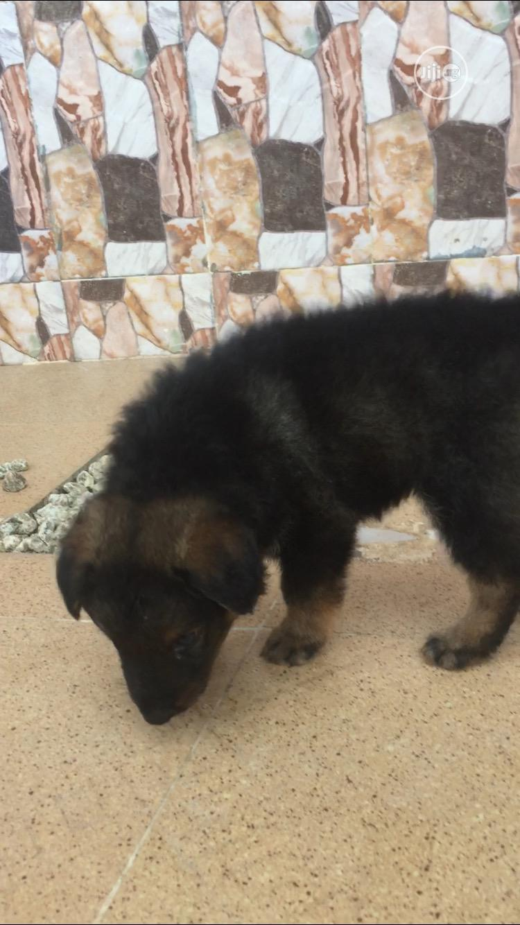 Archive: 0-1 Month Male Purebred German Shepherd