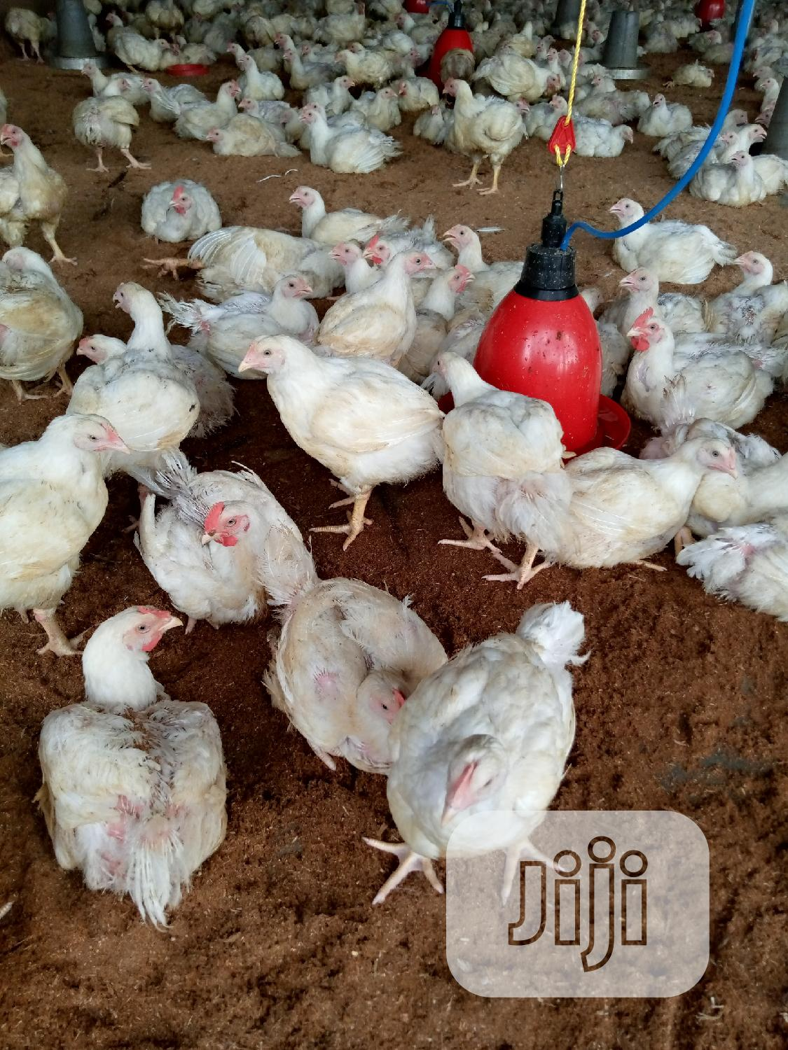 Archive: Am In Title Of Poultry Broilers