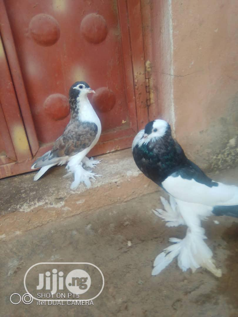 Archive: Foreign Pigeons Available