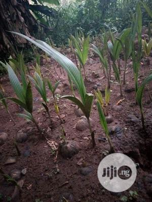 Palm Seedlings And Coconut | Feeds, Supplements & Seeds for sale in Edo State, Benin City
