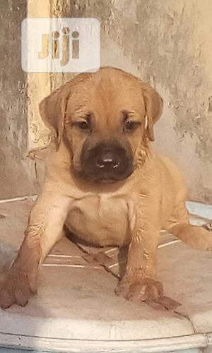 1-3 Month Male Purebred Bullmastiff   Dogs & Puppies for sale in Enugu State, Enugu