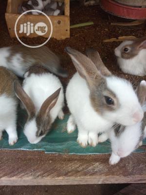 Dutch Rabbits   Livestock & Poultry for sale in Abuja (FCT) State, Kuje