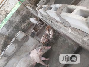 Pure Agric Piglets | Livestock & Poultry for sale in Lagos State, Amuwo-Odofin