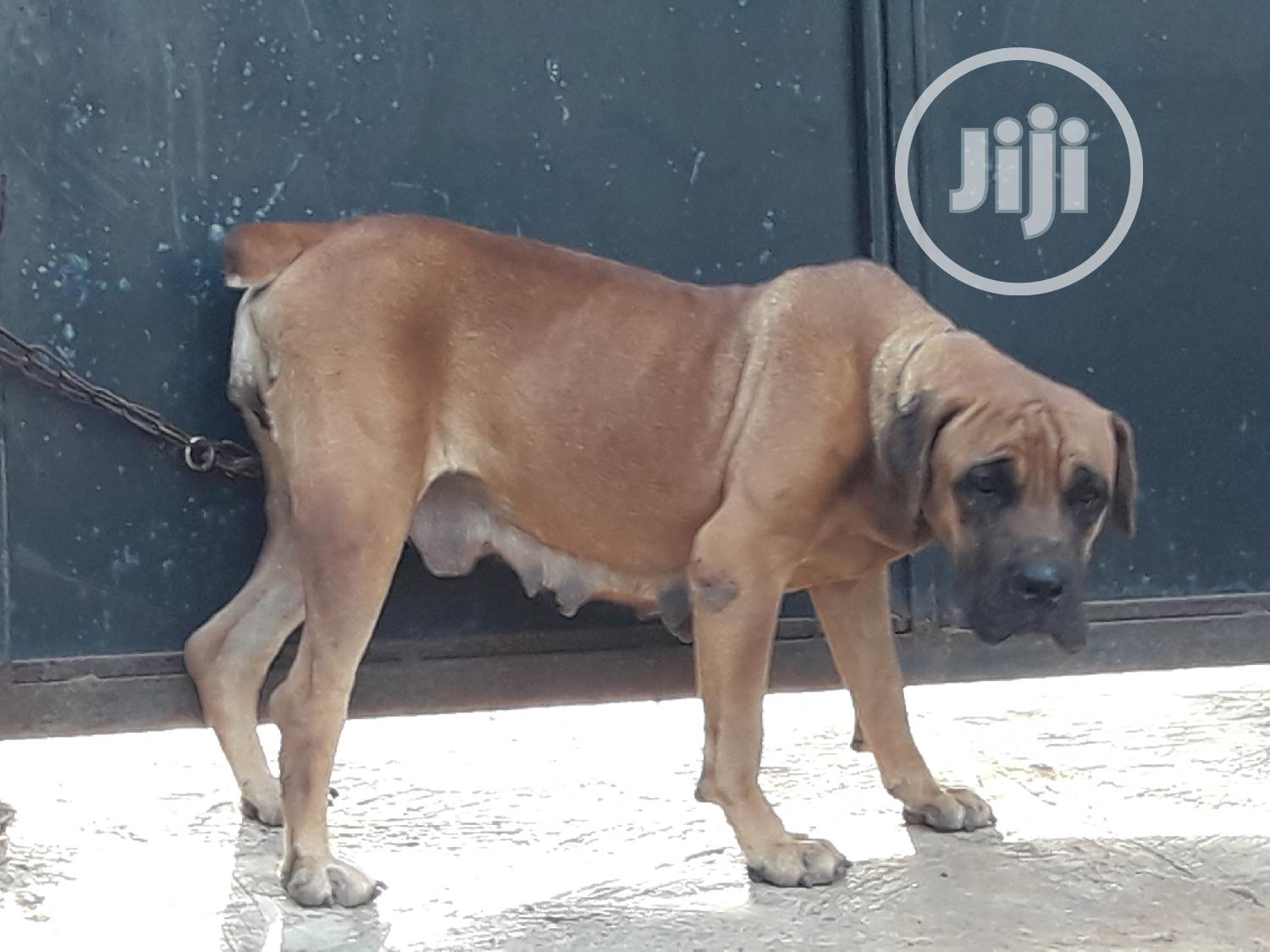 1+ Year Female Purebred Boerboel | Dogs & Puppies for sale in Ifako-Ijaiye, Lagos State, Nigeria