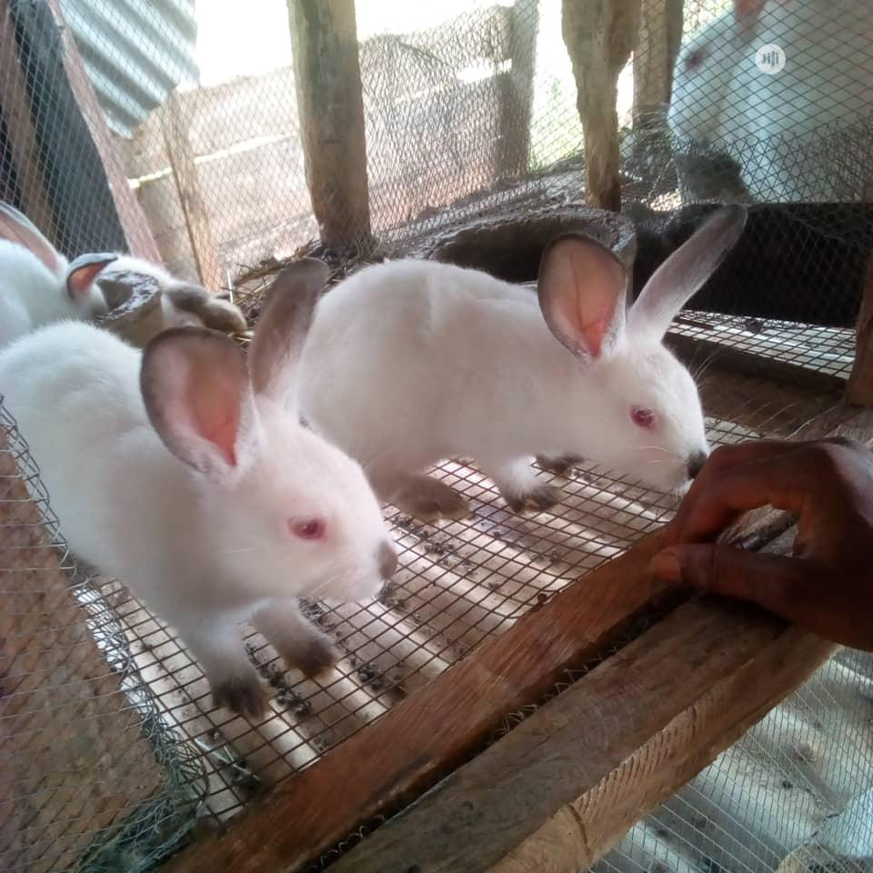 Pure Hyla Max Winners | Livestock & Poultry for sale in Osogbo, Osun State, Nigeria