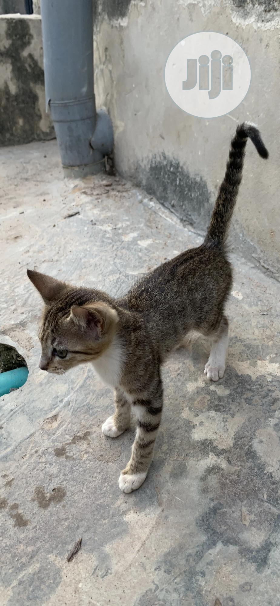1-3 month Female Mixed Breed Cat
