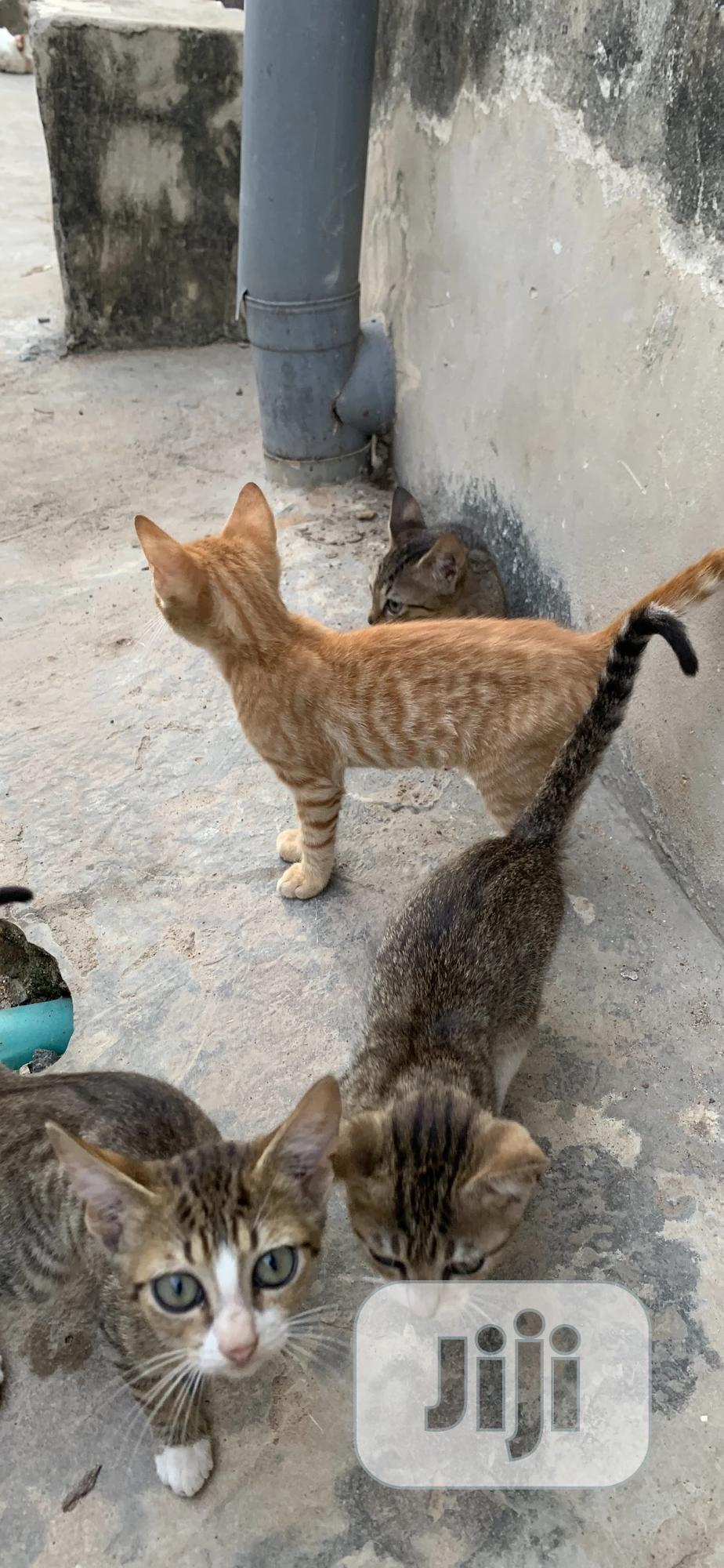 1-3 month Female Mixed Breed Cat   Cats & Kittens for sale in Ifako-Ijaiye, Lagos State, Nigeria