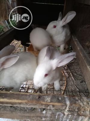 Florida White Rabbit   Livestock & Poultry for sale in Lagos State, Ikorodu