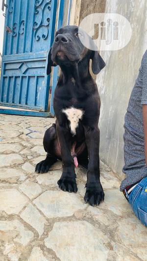 3-6 Month Male Purebred Boerboel   Dogs & Puppies for sale in Lagos State, Ipaja