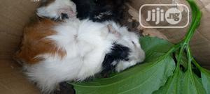 Abyssinian Guinea Pigs | Livestock & Poultry for sale in Akwa Ibom State, Uyo