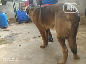 1+ Year Male Purebred Anatolian Shepherd   Dogs & Puppies for sale in Ogun State, Ado-Odo/Ota