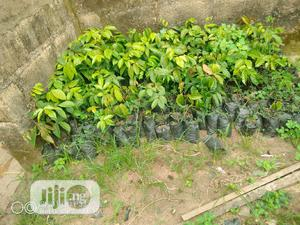 Bitter Kola Seedlings | Feeds, Supplements & Seeds for sale in Oyo State, Ido