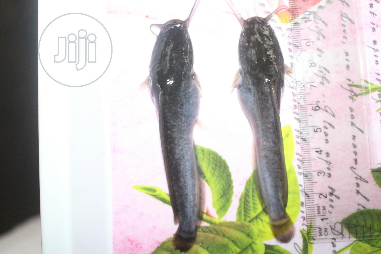 Archive: Fast Growing Catfish Fingerlings, Juveniles & Hybrid