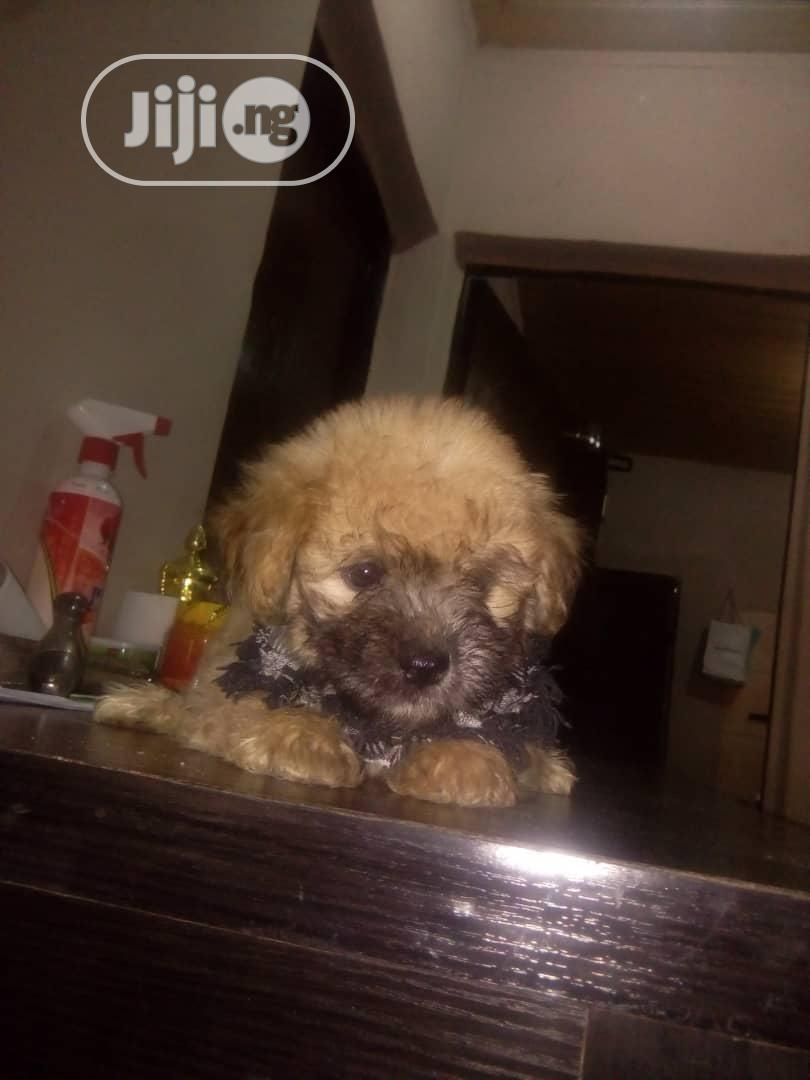 1-3 Month Male Purebred Lhasa Apso   Dogs & Puppies for sale in Katampe, Abuja (FCT) State, Nigeria
