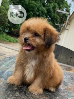 1-3 Month Female Purebred Lhasa Apso | Dogs & Puppies for sale in Lagos State, Surulere